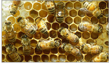 Honeybees from BugGuide